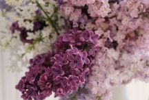 Lilacs / just enjoy its smell and beauty ....