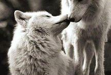 Wolves, farkasok, les loups