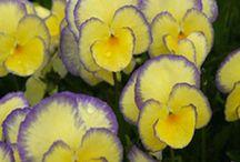 Pensées / Les Pensées sont des plantes très colorées qui fleurissent en toutes circonstances : dès le mois de Mars et jusqu'au mois de Novembre !
