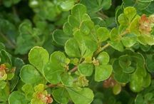 Plants - Hedging Shrubs