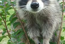 Animals: Raccoons / Photo galleries dedicated to raccoons.