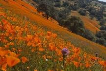 California wildflowers provide design inspiration