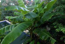 Musa Basjoo / Ez a banánfaj lágy szárú, évelő növény, amelynek 2-2,5 méter magas szára törzsszerűvé alakult.  Az 1 méter hosszú virágzatán egyaránt találhatók hím- és nőivarú virágok. Az 5-10 centiméter hosszú és 2-3 centiméter széles gyümölcse sárgászöld héjú; belül fehér, számos fekete maggal. Az ember által nem fogyasztható. A Musa basjoo nemigen bírja a hideget, emiatt télen a szára és a levelei elpusztulnak, azonban a gyöktörzse megfelelő takarással fagyálló és minden évben újra kihajt.