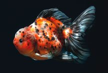 Goldfish / Goldfish are like puppies of the water / by Raquel Swardson
