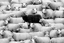 sheeprelationship