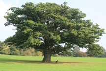 Oak Tree Maintenance: Diseases and Care / Oak trees are majestic hardwoods that provide your home with an abundance of shade as well as make your property visually appealing. For the trees to remain healthy, however, they need proper tree care and regular maintenance. Call Us, We Can Help! (949) 346-5199