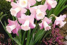 Påskelilje / tulipaner