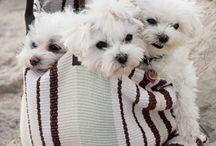 Maltese....I love them!