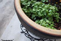 ♥On growing basil♥ / http://ameblo.jp/izumin827/theme-10014289423.html