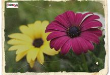 Çiçek Flowers