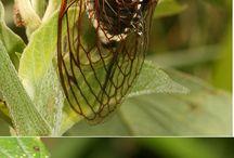 Cicadas and flies / Parasitism