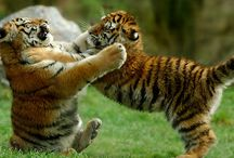 The Big Cats / Lions and Tiger and Jags... OH MY!! / by Angie Gaffke