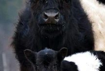 animalia | bovine