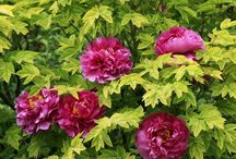 Flowers-Pivoines