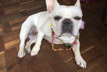 French Bulldog Huanna