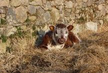 Longhorn Cattle