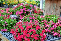 Summer Hanging Baskets & Planters