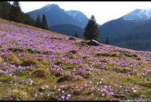 Krokusy - Crocuses - Tatry - Poland - Tatra Mountain / tatrzańskie krokusy w Dolinie Chochołowskiej - Tatra Mountains, Poland, crocuses, Zakopane, National Park, spring, wiosna , góry, kwiaty , flowers  #Tatry #Tatra #Mountains #Poland #Polska #krokusy #crocuses #krokus #wiosna #spring #krajobrazy #góry #flower #kwiaty #flowers #Zakopane #Dolina #Chochołowska #landscape #photography
