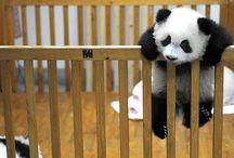 I love PANDA BEARS / by Paula McKeeton Hemingway Chirillo
