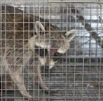 Squirrel Trap in Apopka / Dealing with a possible squirrel invasion? Give Critter & Pest Defense a call today and we will be happy to help with our expert squirrel removal services as well as Squirrel Trap in Apopka.