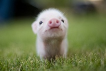 This Little Piggy / Don't you think pig is cute?