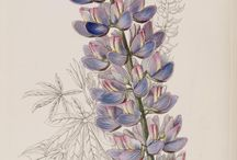 Blomster lupin