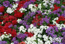 PHLOX / Varieties & Colours