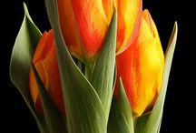 Lale-anemon