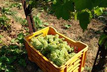 Wine Making: Franciacorta