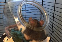Rat and hamster