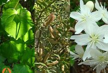 Rongoa Maori - healing plants of NZ