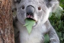 Animals - Koalas / by Jan Vafa
