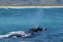 Whale watchng / Whale watching in Gansbaai