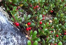 Norway nature / Norway nature Åmot lingonberrys