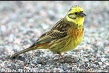 kerti madarak és hangjaik