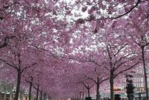 Når kirsebærtræerne blomstrer