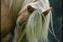 Oreille cheval