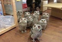 Superowls