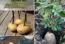 como plantar roseiras na batata