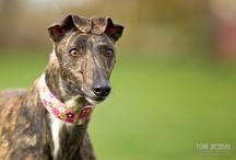 Greyhound Rescue / Greyhound Rescue