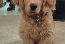Dogs I would like / Golden cocker retriever