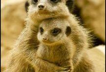 Family Herpestidae. / Includes Meerkats and Mongoose.