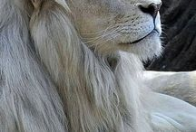 White lions & Tigers