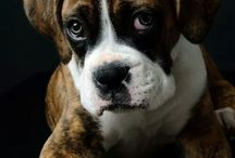 Boxer love... soon!