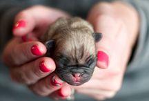 tiny baby pugs