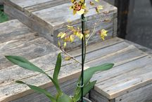 Orchids / Some of the beautiful orchid varieties we have in stock this year.