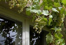 Weinreben pflanzen / Pflanzen Ideas und Tricks
