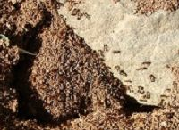 Fire Ants Dallas Fort Worth / If you have been bitten by fire ants, wash the area and apply ice for 15 minutes to reduce swelling. Then Call Ameritech Pest Control 214-504-2875 Dallas & Fort Worth Texas.