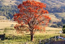 Brazilian caatinga trees