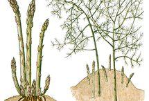 Garden - Asparagus